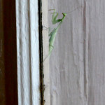 Mantis praying, Olancha