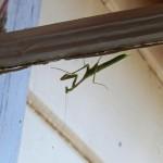 Another Mantis praying, Olancha