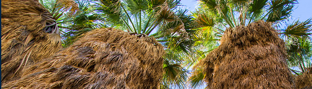 Under the canopy of several California fan palms (Washingtonia filifera)